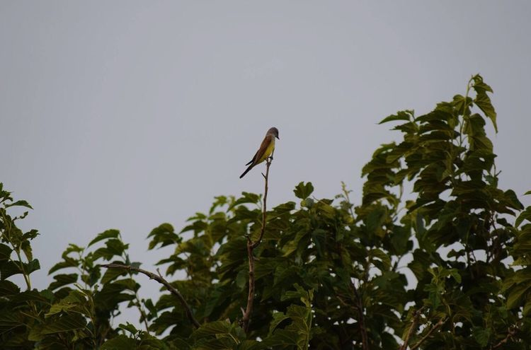 Tree Birds Nature Grey Sky Yellow