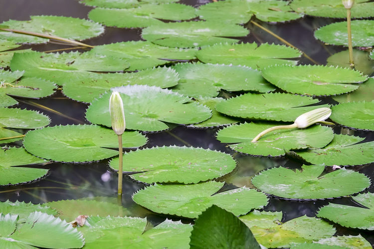 LOTUS LILY ON A LAKE Beauty In Nature Day Floating On Water Green Color Growth Leaf Leaves Lotus Water Lily Nature No People Plant Plant Part Water Water Lily