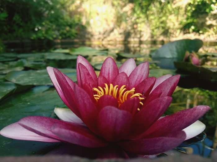 Flower Head Flower Water Beauty Red Closing Pink Color Leaf Lotus Water Lily Close-up