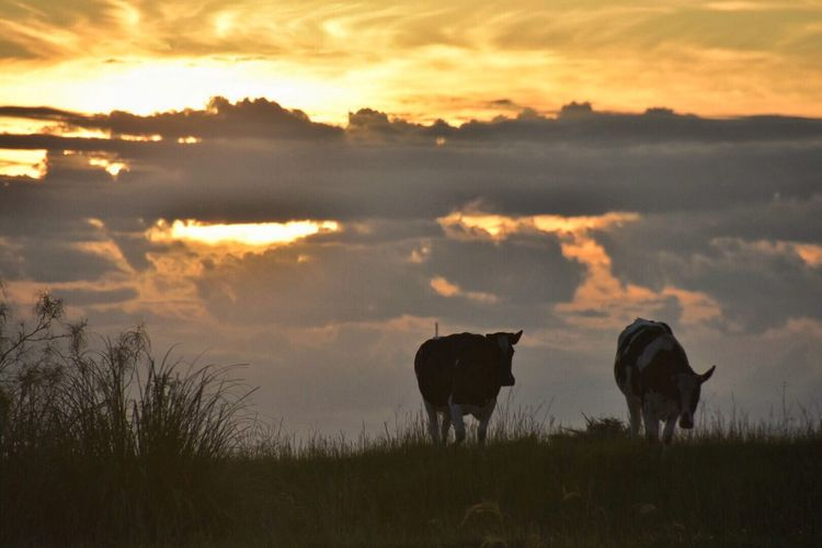 Cows on field against cloudy sky at sunset