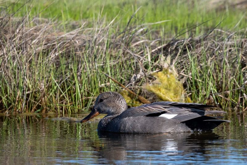 Gadwall Awesome