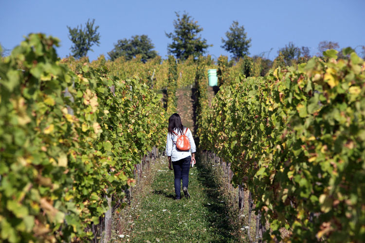 Full length rear view of woman walking in vineyard against clear sky