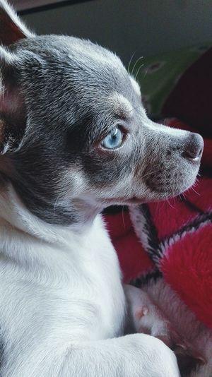 Mi Mascota My Dog I Love My Dog Chiuahua OjosAzules Eyeblue Orizonte Dog Cute Photography Likeforlike Love