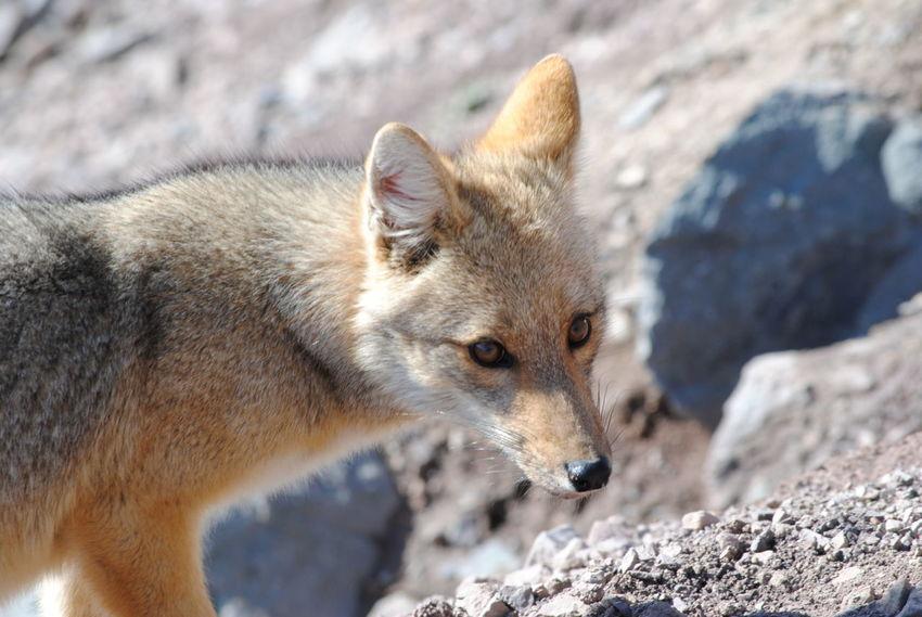 fox in Chile Desert Nature Animal Animal Themes Animal Wildlife Animals In The Wild Fox Fox In Chile Mammal Nature One Animal Rocks Wild Fox Wildlife
