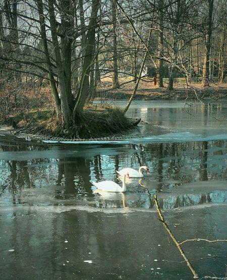 Schwanensee Frozen Nature Swimming Swans Tree Refection Standing Water