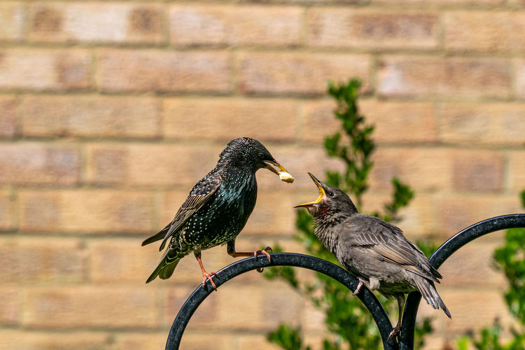Juvenile starling perched on metal post demanding food from adult bird