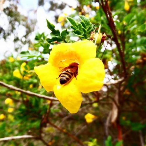 Bee Nature Flower Beauty SamsungSmartCamera Edit Wildlife Pollen Busybee Australia