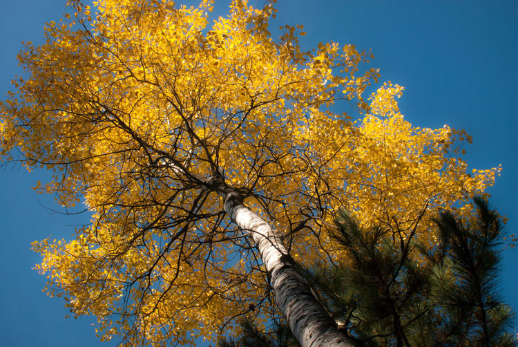 Clear Sky Tree Autumn Low Angle View Sky Nature Yellow Beauty In Nature No People Outdoors Leaf Tree Trunk Minnesota Fall Fall Beauty Aspen Quaking Aspen Woods Forest Trees Trees And Sky Gold Golden Tree Canopy  Plant