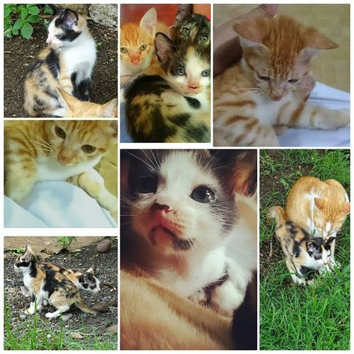 In Loving Memory of my 'Lil Furry Buddies... SUMMERS and DWIGHT. Thank you for the 4 months of happiness with us. Rest In Peace kitties. 😔😢😿😿😿 Lilfurry Perrysons FelineDomesticus AmericanBobtailCrossBreed Calico Dwight Summers Kulitcat Rip