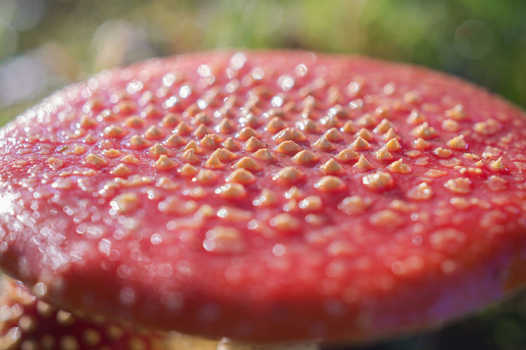 Close-up Poisonous, Park, Forest Fly Agaric Mushroom Outdoors Mushroom Growth Nature Macroshot Toadstool Sunlight Forest