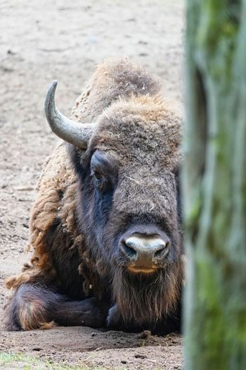 Bison Buffalo Animal Themes Animal Mammal Animal Wildlife One Animal Vertebrate Animals In The Wild Day Land No People Horned Relaxation Livestock Domestic Animals Nature Field Portrait Focus On Foreground Cattle Close-up