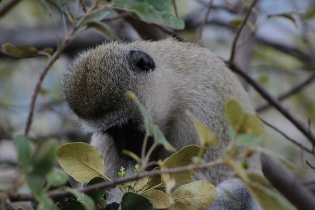 Animal Head  Animal Themes Animals In The Wild Beauty In Nature Branch Butiama, Tanzania Close-up Day Focus On Foreground Holding Leaf Mammal Monkey Nature No People One Animal Primate Sad Monkey Tanzania Velvet Monkey Vervet Monkey Whisker Wildlife Zoology