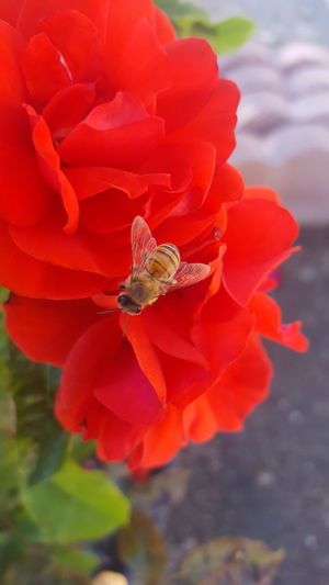 Found this little lady crawling on the desk while I was at work. Once i figured someone might try to kill her, I took her outside and placed her on some roses. And since she seems lethargic, I took a couple of photos Rose🌹 Flower Bee Buzzing Bee