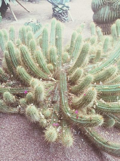 Cactus Plant Growth Thorn Nature Sharp Natural Pattern Spiked Close-up Potted Plant Freshness Beauty In Nature Arid Climate Needle - Plant Part Flower Botany Tranquility Outdoors Succulent Plant Uncultivated