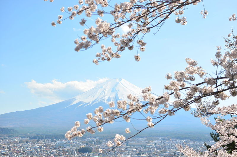 Sakura Beauty In Nature Blossom Branch Cherry Blossom Cherry Tree Cloud - Sky Day Flower Flowering Plant Fragility Freshness Fuji Growth Mountain Nature No People Outdoors Plant Scenics - Nature Sky Springtime Tranquility Tree