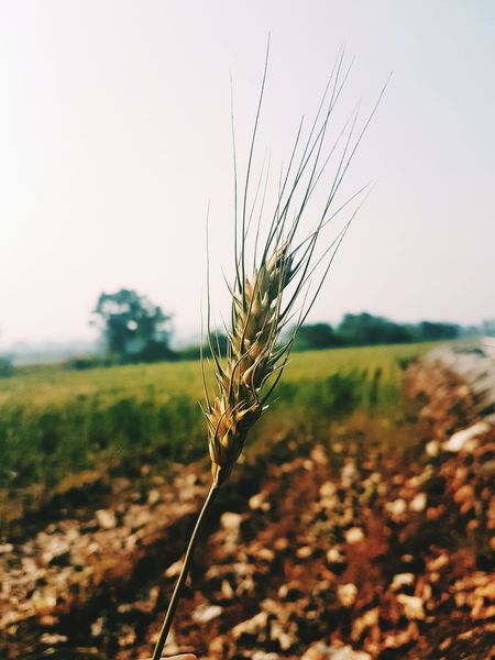 wheat Agriculture Nature Plant Insect Focus On Foreground Selective Focus Growth Social Issues Beauty In Nature Field Cereal Plant Outdoors Fragility Rural Scene Freshness Close-up Day Sky No People