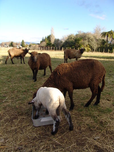 Assorted Sheep Feeding. Farm Rotorua