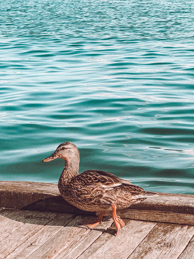 High angle view of mallard duck on lake