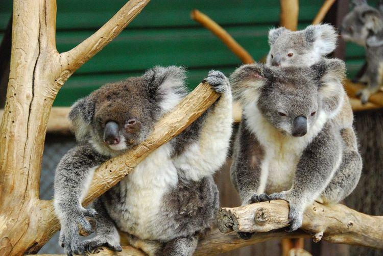 Koalas on wood at zoo
