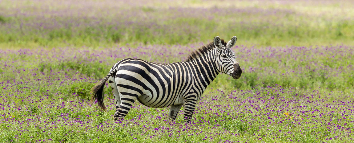 A Plains Zebra in a meadow of purple blooms. A beautiful specimen of a Plains zebra in purple meadows in the Ngorongoro Crater, Tanzania. During this period the meadows burst into beautiful yellow and purple wild flowers. Deliberately cropped the image in the form of a banner. Africa Animal Animal Photography Animal Themes Animal Wildlife Animals In The Wild Beauty Beauty In Nature Beauty In Nature Burchell's Zebra Equus Quagga Mammal Nature Nature Photography No People One Animal Out Of Africa Plains Zebra Striped Tanzania Wild Wildlife Wildlife & Nature Wildlife Photography Zebra