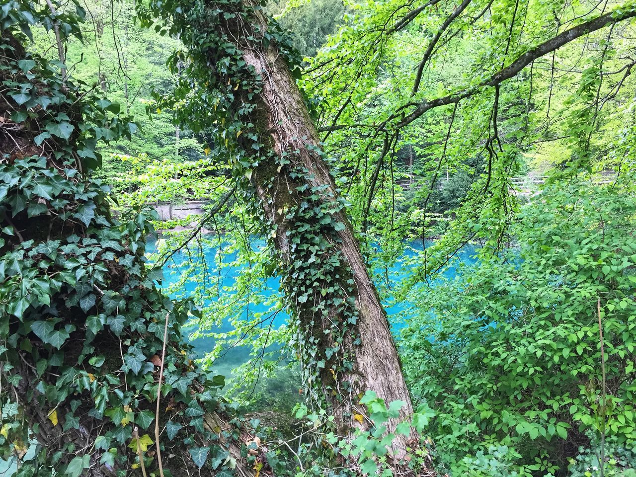 plant, tree, forest, growth, green color, land, beauty in nature, tranquility, nature, trunk, tree trunk, day, lush foliage, foliage, no people, woodland, outdoors, tranquil scene, non-urban scene, branch, rainforest, bamboo - plant