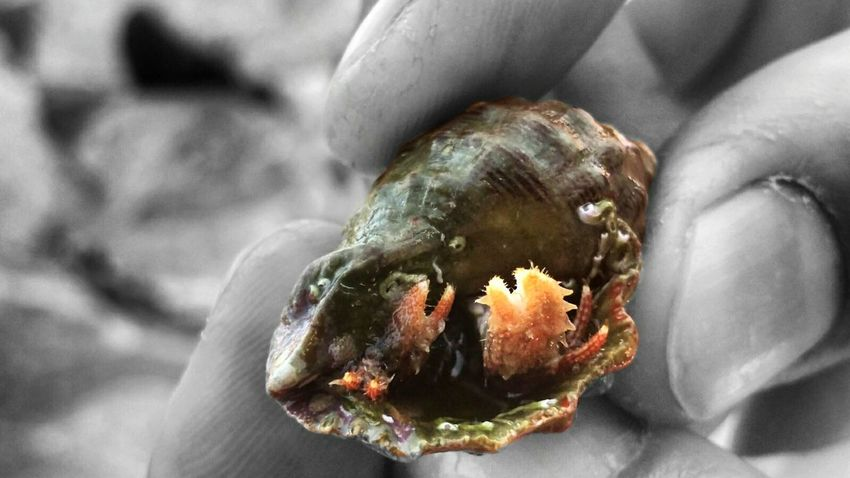 Ermitaño Cangrejo Colorsplash Macro Beauty Hand Hermit Crab Tweezers Nature_collection