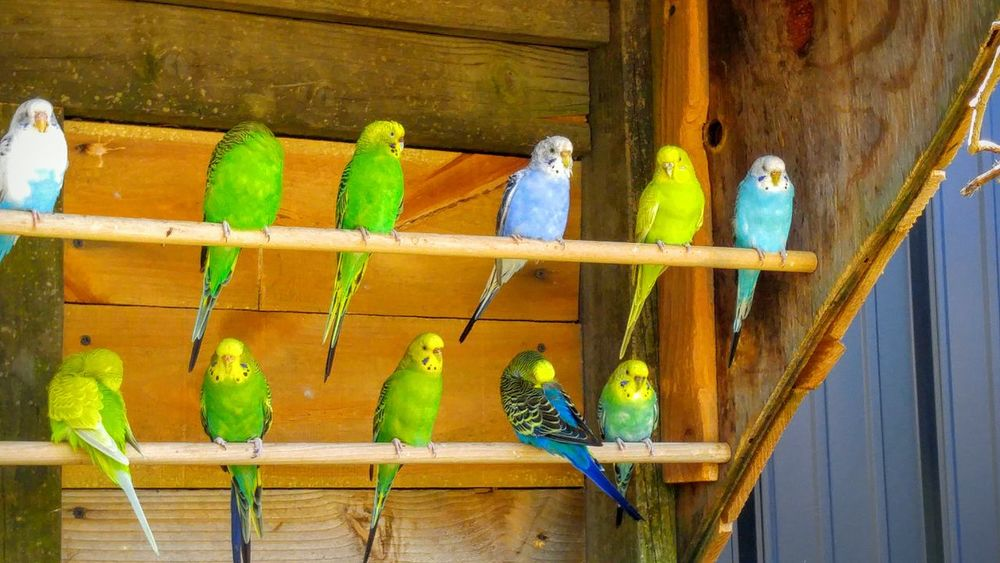 Birds Budgies Budgielove Zoo Perch Perching Colour Of Life