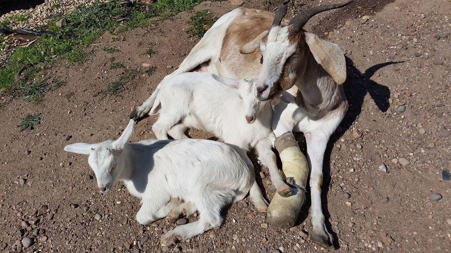 EyeEm Selects Animal Themes Day Outdoors Domestic Animals Goatkid Goats On The Farm Eyemgoats Goats Goatworthy Goatslife Goatsarecool Babygoat Goat Goats Head Samsung Galaxy S6 Goatlife Nubian X Alpine