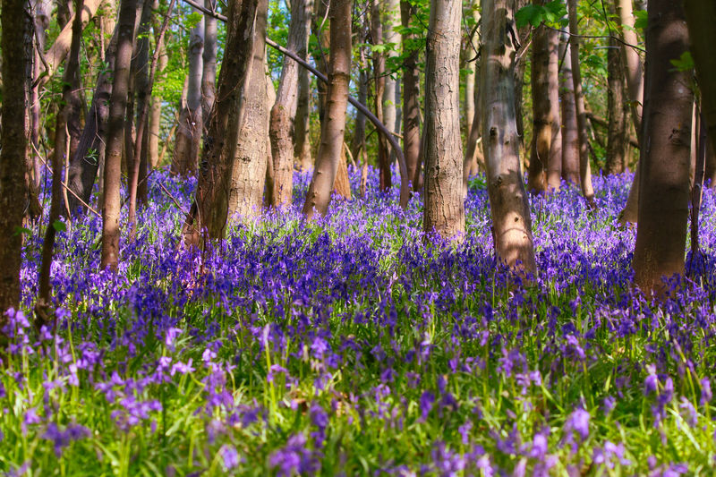 Bluebells blooming on field