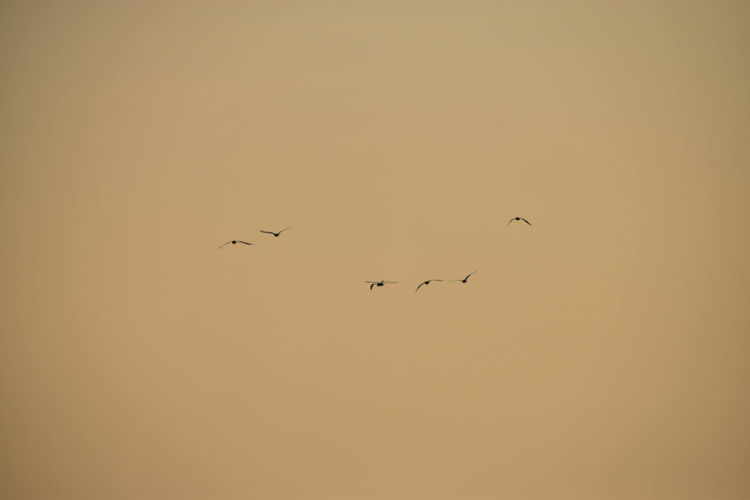 Bird Bird Of Prey Flying Flamingo Sunset Spread Wings Togetherness Flock Of Birds Silhouette Mid-air Animal Migration Songbird