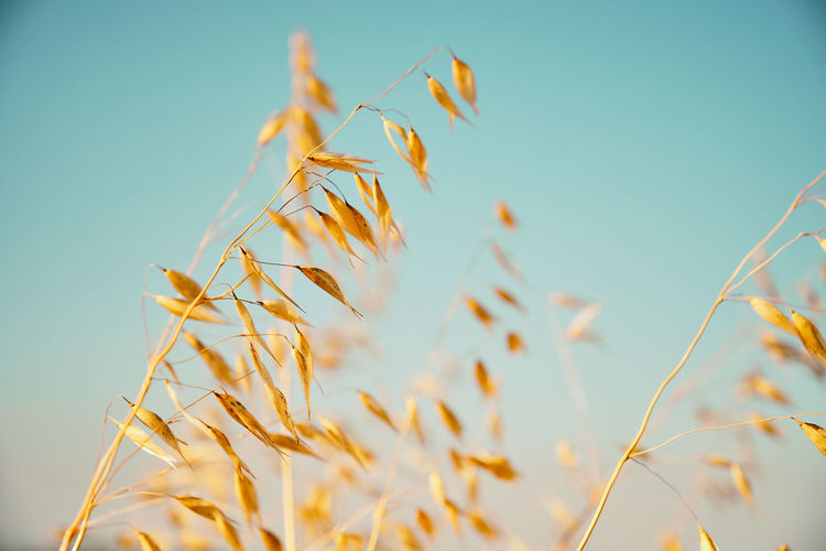 Close-up of wheat plants against clear sky