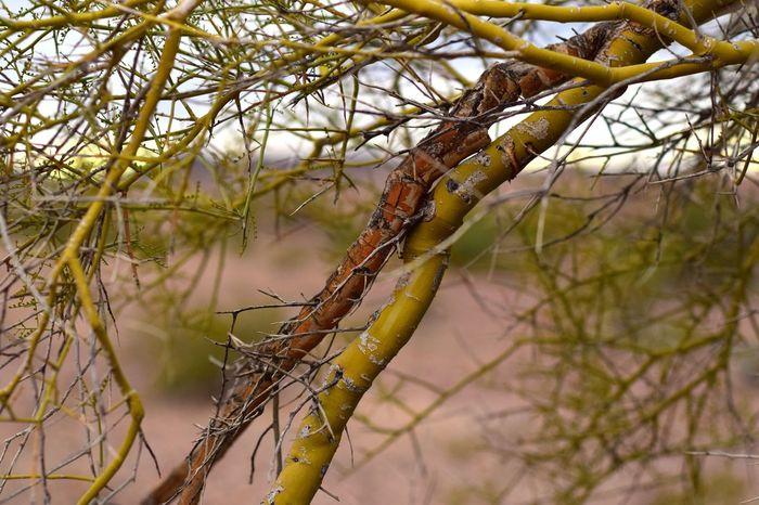 Branches Desert Nature Tree Desert Colors Macro Photography Arizona Bokeh Tree Branch  Desert Landscape Plant Life Palo Verde Tree