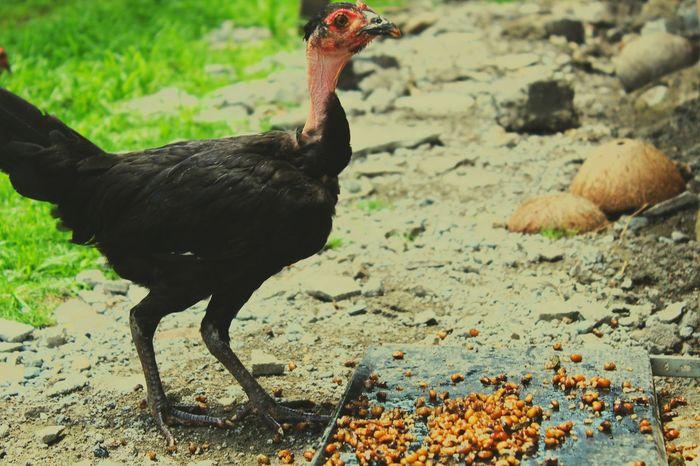Chicken Farmlife FarmAnimal Black Animalphotography Wildchicken Chickenlittle