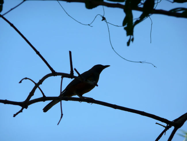 Animal Themes Animal Wildlife Animals In The Wild Beauty In Nature Bird Blue Branch Clear Sky Day Low Angle View Nature No People One Animal Outdoors Perching Schatten Shaddow Silhouette Sky Spread Wings Tree Vogel