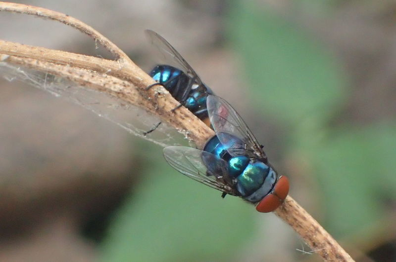 Insect Photography Macrophotography Garden Photography Metalicblue Flies Macro Beauty Lovely Colors No Filter