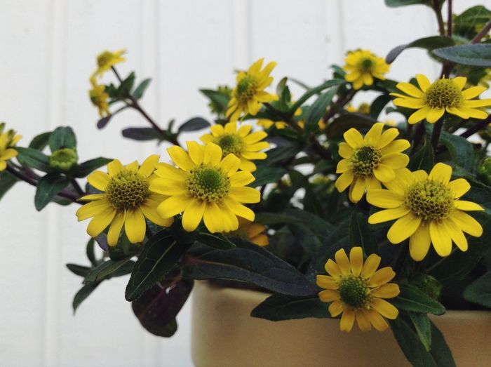 Yellow flowers in a pot. Yellow Flower Yellow Flowers Nature White Wall