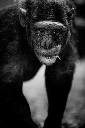 Close-up portrait of chimpanzee at zoo