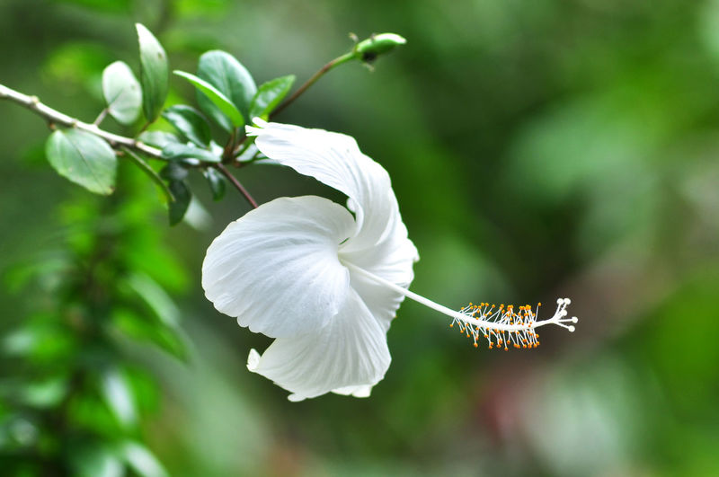 Hibiscus flowers Flower Head Flower Springtime Tree Beauty Branch White Color Petal Flying Close-up Plant Life Blossom Hibiscus Flowering Plant