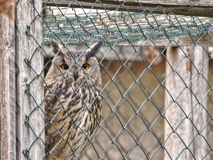 Uhu Flitzi aus der Wildtierauffangstation Hüllerup Owl Eagle Owl  Bird Uhu Wildtierauffangstation EyeEm Selects Fence Boundary Chainlink Fence Barrier Metal Security Animal Wildlife Animal Themes Animal