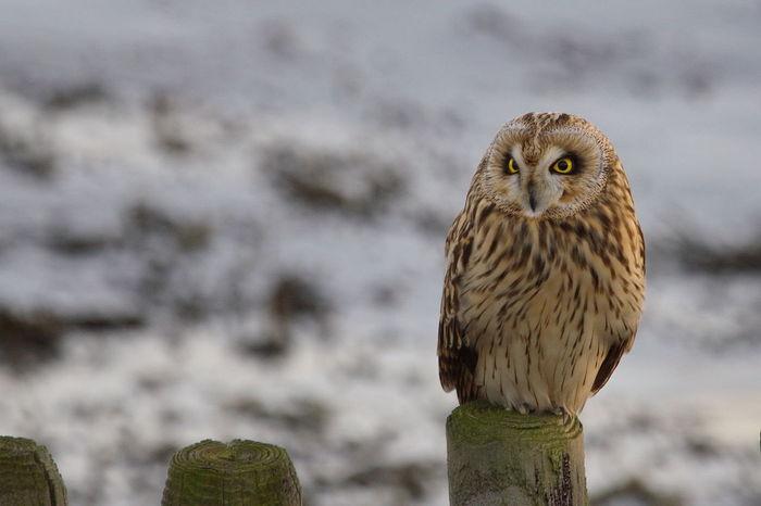 Beauty In Nature Bird Bird Of Prey Short Eared Owl Velduil Wildlife Zeeland