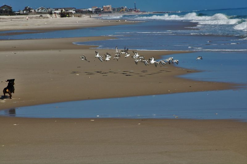 Animals In The Wild Beach Beauty In Nature Bird Coastline Day Fire Island NY Flock Of Birds Sea Bird Wildlife