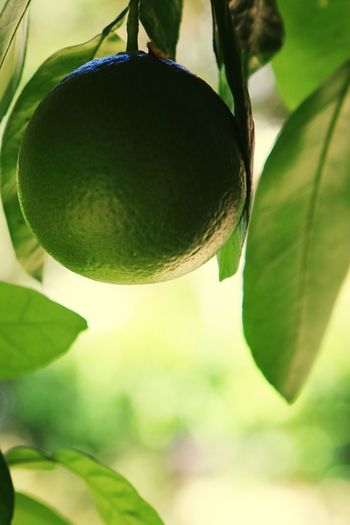 Lime Close-up Green Color Citrus Fruit Leaf Beauty In Nature Fruit Green Hanging Fruit