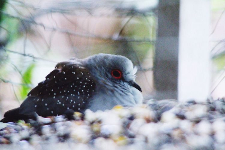 Animal Themes One Animal Animals In The Wild Bird Close-up Outdoors Nature Day No People Doves Dove Dove Love Birds Of EyeEm  Birds🐦⛅ Birdwatching Garden Photography Diamond Dove Always Be Cozy Animal Pet Portraits
