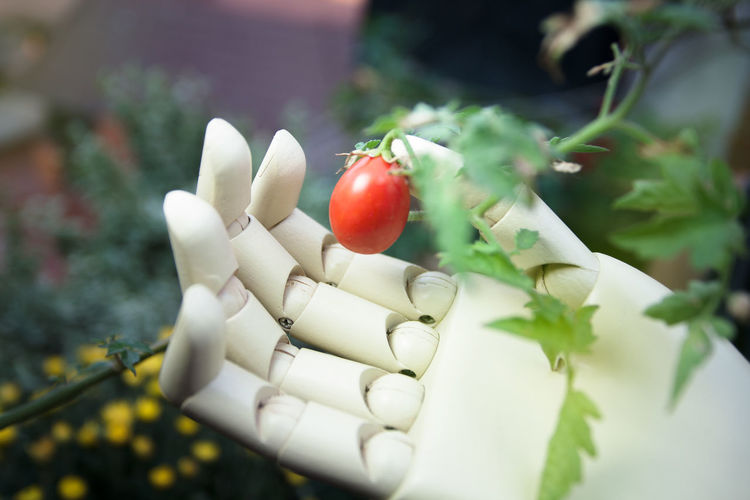 prosthetic hand holding cherry tomato Red Food Healthy Eating Freshness Close-up Day Plant Nature Growth Vegetable Ripe Tomato Cherry Tomato Hand Holding Picking Prosthetic Symbol Robotic Cyborg Lifestyles Agriculture Industrial Technology Innovation
