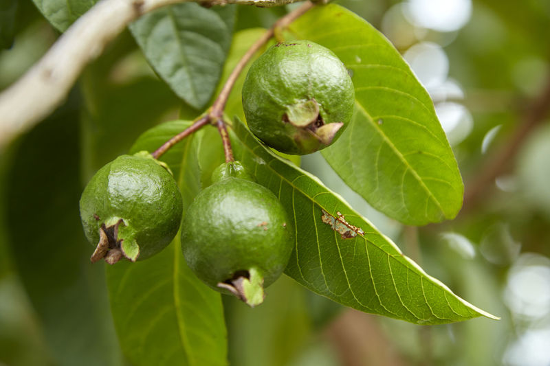 Close-up of guava growing on tree