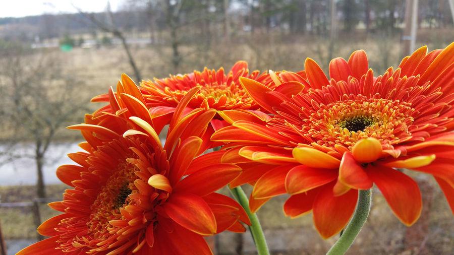 Orange gerbera daisies growing against field