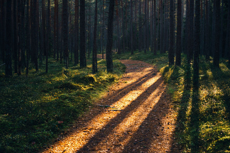 Forest Tree Nature WoodLand No People Tranquil Scene The Way Forward Beauty In Nature Pine Woodland Outdoors Forest Path Shadows Sunlight