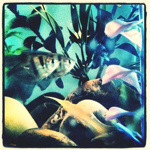 Fish Mollies Tetra