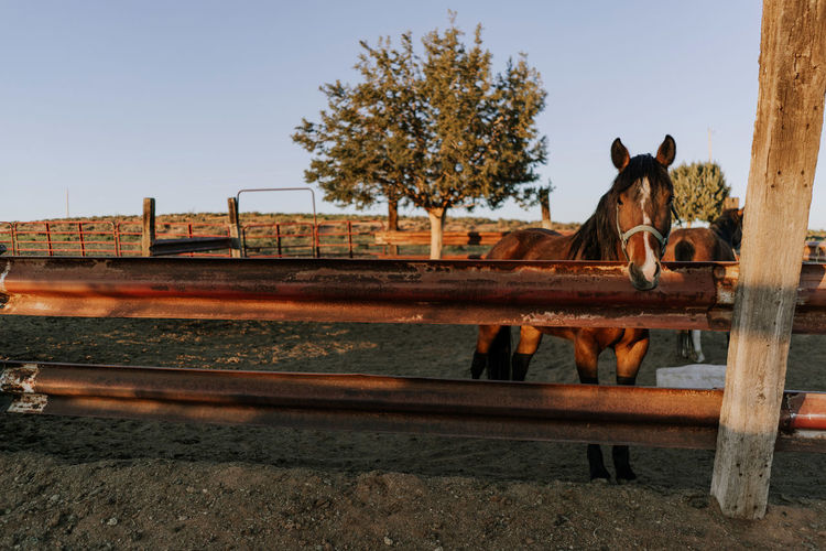 Horse Horses Arizona Farm Farm Life Sunrise Nature Tranquility Ranch Outdoors Day No People Clear Sky Livestock Animal Themes Domestic Animals Mammal Group Of Animals Standing Animal Wildlife Pets Domestic Animal Paddock