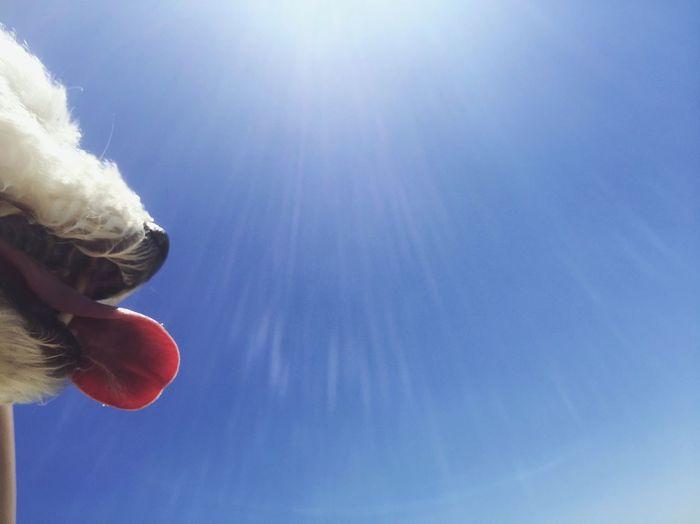 Bichon Frise Clear Sky